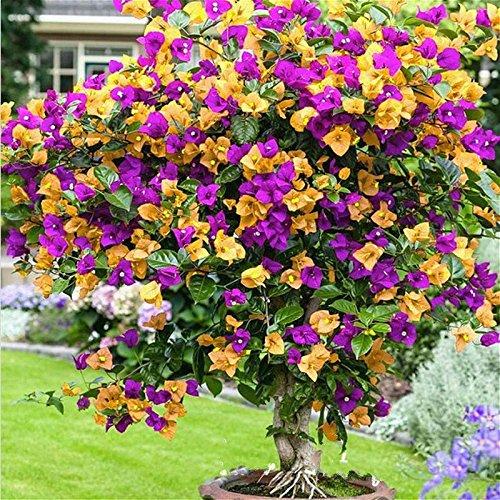 100 stks Kleurrijke Bougainvillea Zaden Balkon Bloempot * Tuin Bloemen Zaden In Bonsai Bloemrijke Hardy Plant Boom…