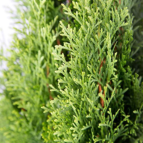 Plants by Mail BP-20Q Emerald Green Arborvitae, 2.5 qt
