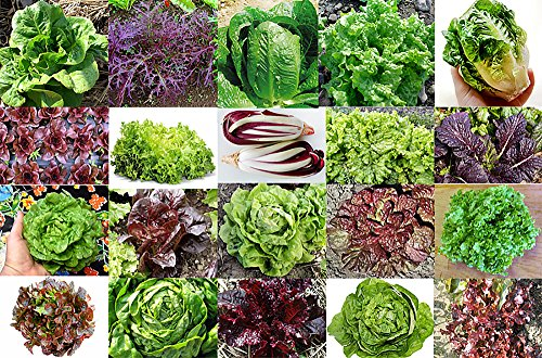 This is A Mix!!! 1000 Lettuce Mix 20 Varieties Seeds Heirloom Non-GMO. Seeds are not Individually Packaged! from USA. US Grown!