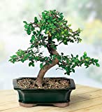 Chinese Elm Bonsai Live Tree Plant 5 Year Old Outdoor/Interior Decor