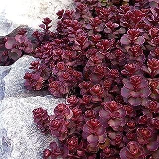 NEW! 50+ PURPLE CARPET SEDUM FLOWER SEEDS / DARK RED / DROUGHT TOLERANT PERENNIAL
