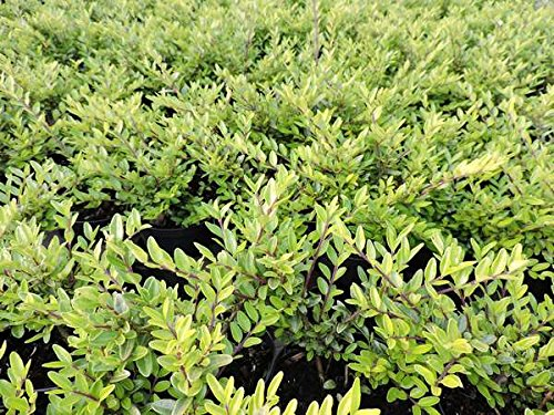 50 Stk. Heckenmyrte 'Maigrün' - (Lonicera nitida 'Maigrün')-Bodendecker im Topf 20-30 cm