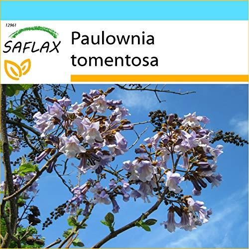 SAFLAX - Kit cadeau - Arbre impérial - 200 graines - Paulownia tomentosa