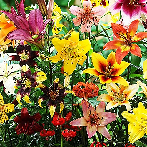 10x Lilien zwiebeln mix Lilium zwiebel Gartenpflanzen winterhart Lilien pflanzen Blumen zum pflanzen Gartenblumen
