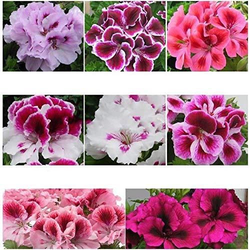 Vistaric 100pcs Rare Mini Geranium Graines Vivaces Belles Fleurs Graines Pelargonium Peltatum Graines disponibles bonsaï mélange en pot couleurs 2