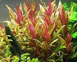 Alternanthera rosaefolia x 1 buncn - Live Aquarium Plant