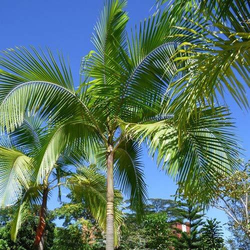 王棕种子(Archontophoenix cunninghamiana) 5+稀有热带棕榈树种子