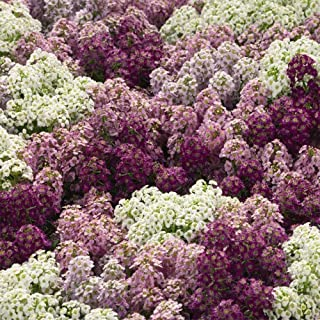 Outsidepride Alyssum Mulberry Mix - 1000 Seeds