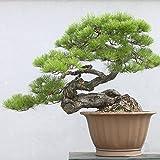 . Japoneses Negro 20 semillas de pino * Pinus...