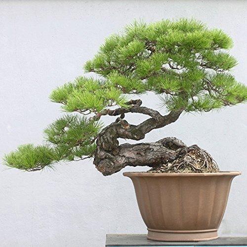 . Japoneses Negro 20 semillas de pino * Pinus thunbergii * Bonsai * * ornamental. Bonsai árbol de hoja perenne de semillas bonsai