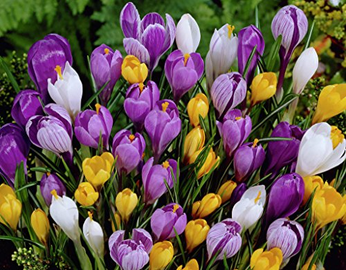 Crocus Mix - 10 bulbes