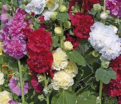 Rose trémière naine Karlie Queeny Mélange 25 graines Alcée Rosea OGM Open Polliniser USA fine