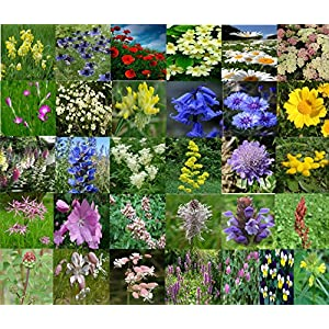 British Wildflower Seeds in individual packets approximately 31 varieties (5100+ seeds)