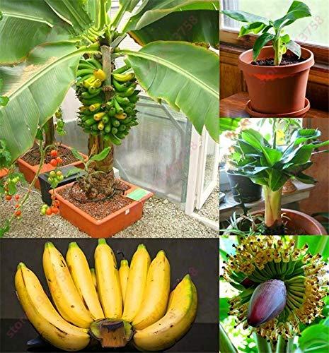 300 pcs Banana graines d'arbres fruitiers Nains Lait Goût extérieur Vivace Fruit Graine F
