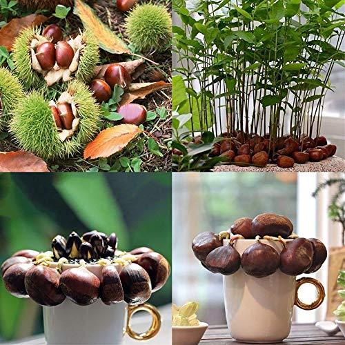 Chinese Chestnut Samen, 2Pcs Chinese Chestnut Seed Sonnenschein Nachfrage Nahrhafte Tragbarer natürliche chinesische Kastanie Seed für Ideal Outdoor-Garten Geschenk