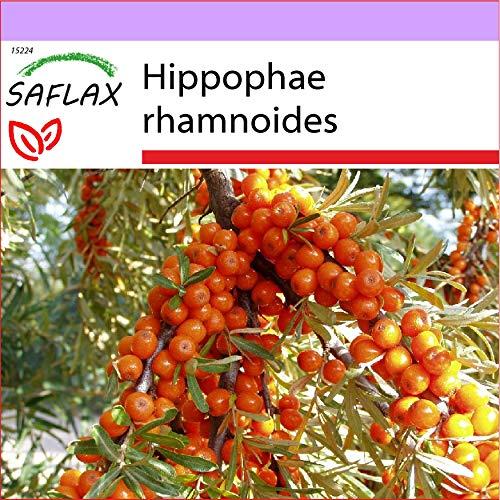 SAFLAX - Heilpflanzen - Sanddorn - 40 Samen - Hippophae rhamnoides