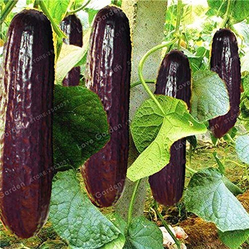 Shopvise Violet long concombre Graines de jardin 20 Pcs