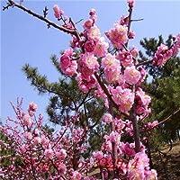 ダークグレー:熱い販売の新しい家の庭の植物10個日本の杏子中国の梅の花サクラの花の冬の甘草の種花の木の種子無料