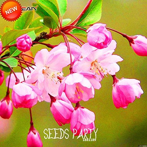 Nouvelle arrivée! 10 graines / Sac Rose Begonia Graines de fleurs 100% Vrai Malus Spectabilis Potted Begonia Bonsai Tree Seeds, # 9TEJRX