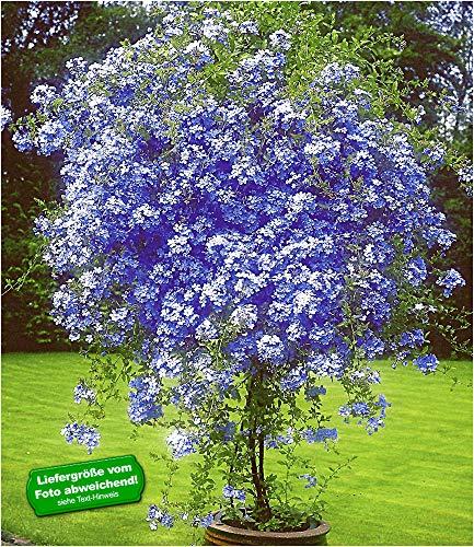 BALDUR Garten Zierstrauch Plumbago, 2 Pflanzen Bleiwurz Plumbago auriculata Kübelpflanze für Balkon und Terrasse