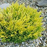 Lime Glow Juniper - 3 Live Plants in 6 Inch Pots - Juniperus Horizontalis 'Lime Glow' - Drought Tolerant Cold Hardy Evergreen Groundcover