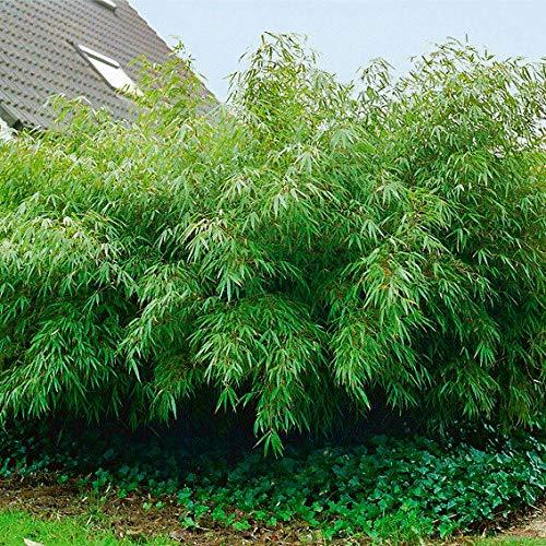 Qulista Samenhaus - Rarität 50pcs Garten-Bambus Rufa Breitbuschig Immergrün, schnellwachsender blickdichter Sichtschutz, Blumensamen winterhart mehrjärhig