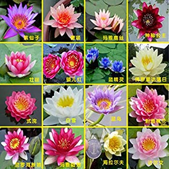 Amazon Com Hydroponic Flowers Small Water Lily Seeds Mini Lotus Seeds Bonsai Seeds Set Hydrophyte 30 Pcs Seeds Garden Outdoor