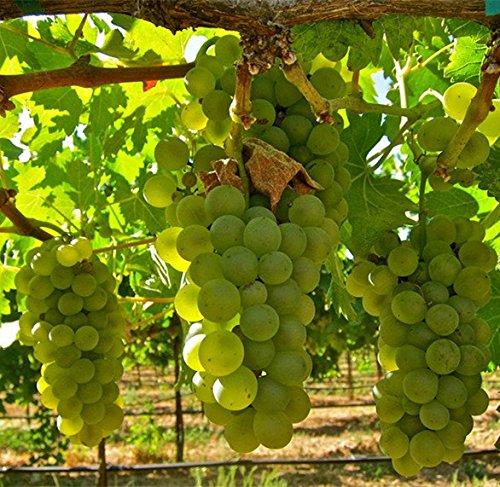 Green Leaf # 1128 White Grapes CONCORD 5 graines
