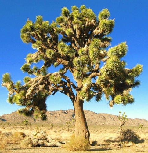 Yucca brevifolia, cactus succulent JOSHUA TREE jardin agave aloe graines 15 graines