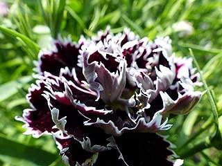Heirloom 50+ Flower Garden Seeds - Dianthus -