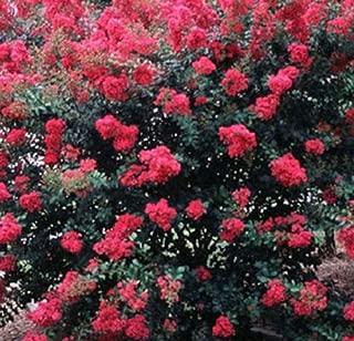 Tonto Fuchsia-red Crape Myrtle Tree ( 1 Gallon ) 14-18