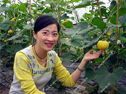 Graine de citrouille Cucurbita fil d'or citrouille Melon Fruits et légumes des semences meilleures ventes de l'extérieur, Bonsai 30 Plantes en pot Pcs 9