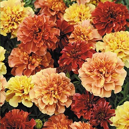 国華園 種 花たね フレンチ マリーゴールド ストロベリーブロンド 1袋(35粒)/メール便配送 21年春商品