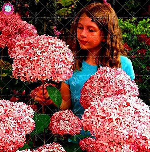 100pcs / Bag Riesen Allium giganteum Zwiebel Bonsai schöne lila Blume Pflanze Hausgarten Blumen Zwiebeln Topfpflanzen: 2