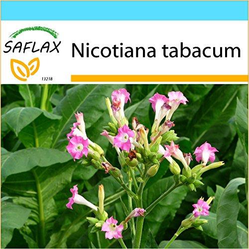SAFLAX - Geschenk Set - Echter Virginischer Tabak - 250 Samen - Mit Geschenk- / Versandbox, Versandaufkleber, Geschenkkarte und Anzuchtsubstrat - Nicotiana tabacum