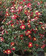 SmartMe - Yuletide Camellia Camellia sasanqua 'Yuletide' - 2 Feet Tall - Ship in 3 gal Pot. E38