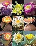 Pleiospilos MIX, saftig Kaktus lebenden Steine gemischt Felsen Pflanzensamen 50 SEEDS