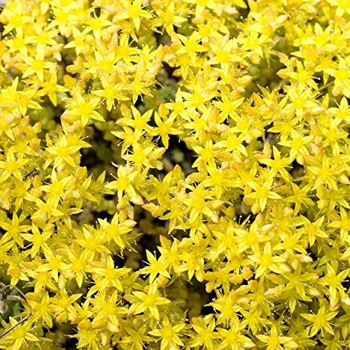 Sedum Acre Samen, Gelbe Blumensamen zu Wachsen Blüte Bodendecker Samen Pflanze für Außengarten 500 stücke