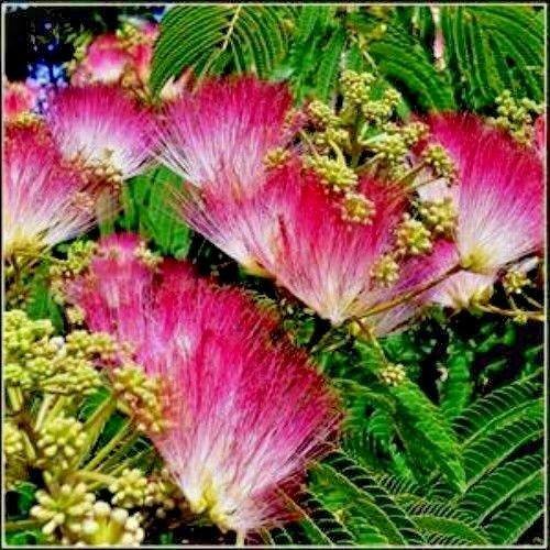 graines d'arbre de soie (Mimosa) - Arbre facile à cultiver - 20 graines - Colibri préférés
