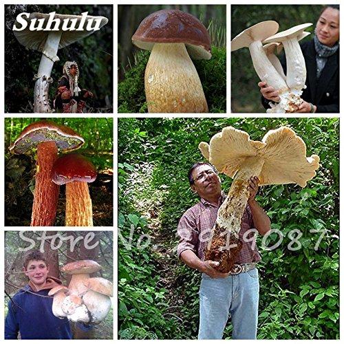 Super Big champignons Graines 40 Pcs Succulent délicieux drôle Fungus biologique des plantes, graines de santé comestibles Facile à cultiver pour le jardin 1