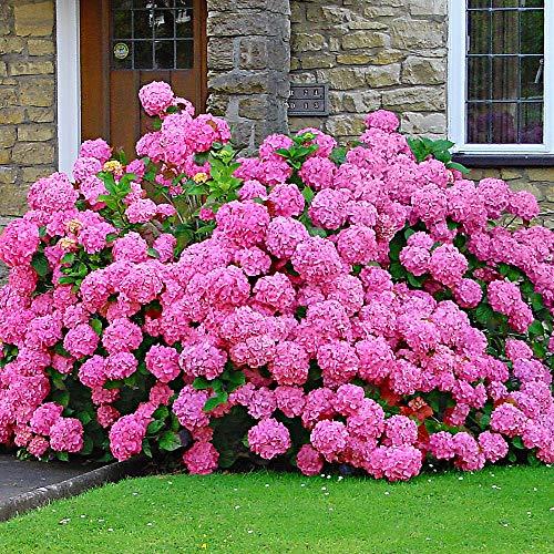 Hydrangea macrophylla'Rosita' |...