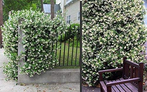 Sternjasmin ca. 80 cm - Immergrün, Duftend & Winterhart Trachelospermum jasminoides