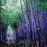 Soteer Seed House - Bamboo Gigante China Moso Bamboo...