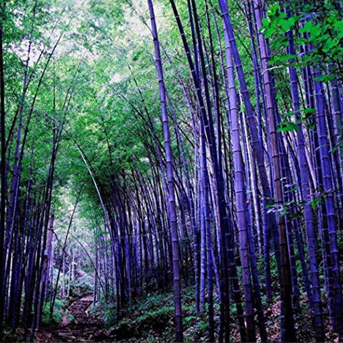 Soteer Garten-Riesenbambus China Moso Bambus(Phyllostachys edulis/pubescens) Saatgut Zierpflanzen winterharte bunte Samen für Ihre Garten und Haus (20 Stück, Lila)