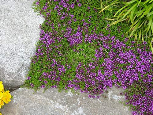 Frühblühender Thymian 200 Samen (Thymus praecox) -mehrjährig, Bodendecker