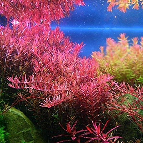 Rotala sp. Colorata - Pflanze für Aquarien, 3 Bund