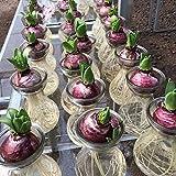 Aerlan jardín Ornamental balcón,Jardín Planta en Maceta perenne,Jacinto tulipán Lirio Narciso bulbos-tulipán púrpura Negro