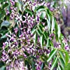 Portal Cool Persiana lilla Semi Melia azedarach Flowering Tree Bulk 40 Seed Confezione #1