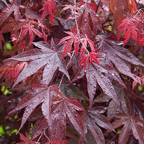 Acer palmatum 'Bloodgood' | Japanese Maple Deciduous Potted Trees for Small Gardens | Premium Bushy Plant Shrub Tree in Pot (50-70cm (Incl. Pot))