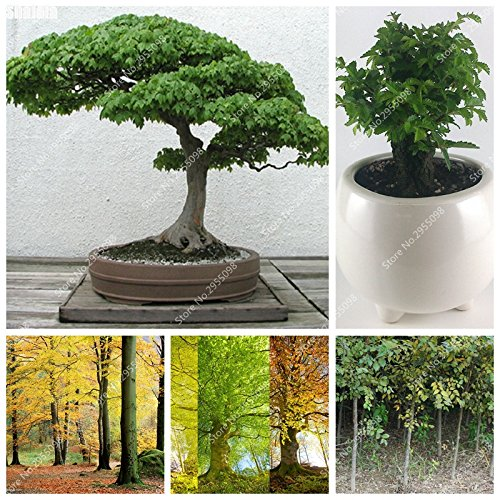 12pcs / sac importé sang Graines de hêtre naturel extérieur Ju Shu Bonsai usine Exotioc Red Elm Planta pour Flower Pot Planteur